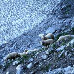 Stádo ovcí toulající se po horách.