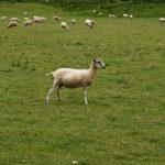 Ovce byly ve Skotsku úplně všude.