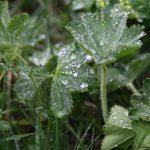 Kapky vody krásně poskládané na listech.