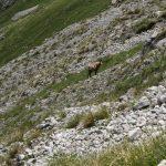 Kamzík horský, alpský, uplně hluchý.