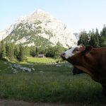 Stoupáme vzhůru na Hesshütte mezi zvědavými kravami.