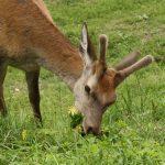 Podezřele nebojácný jelen na louce skoro v centru Donoval.