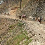 V podhůří se na dopravu nákladu často využívají muly.