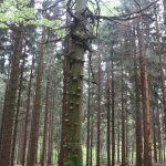 Les plný krásných velikánů.