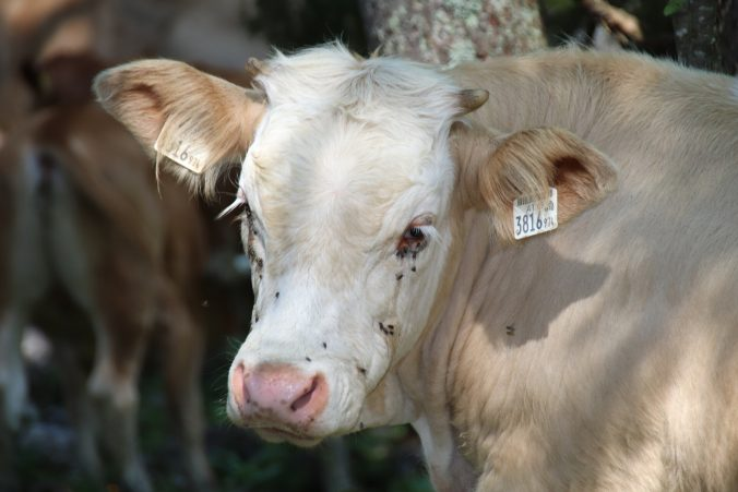 Na pastvinách tentokrát byly krávy.