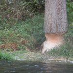 Bobři se pustili do mohutného stromu na břehu.